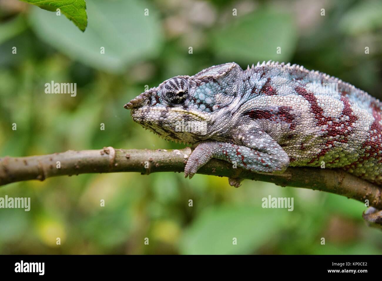 Colourful Panther chameleon (Furcifer pardalis), Île Sainte-Marie, Madagascar. Stock Photo