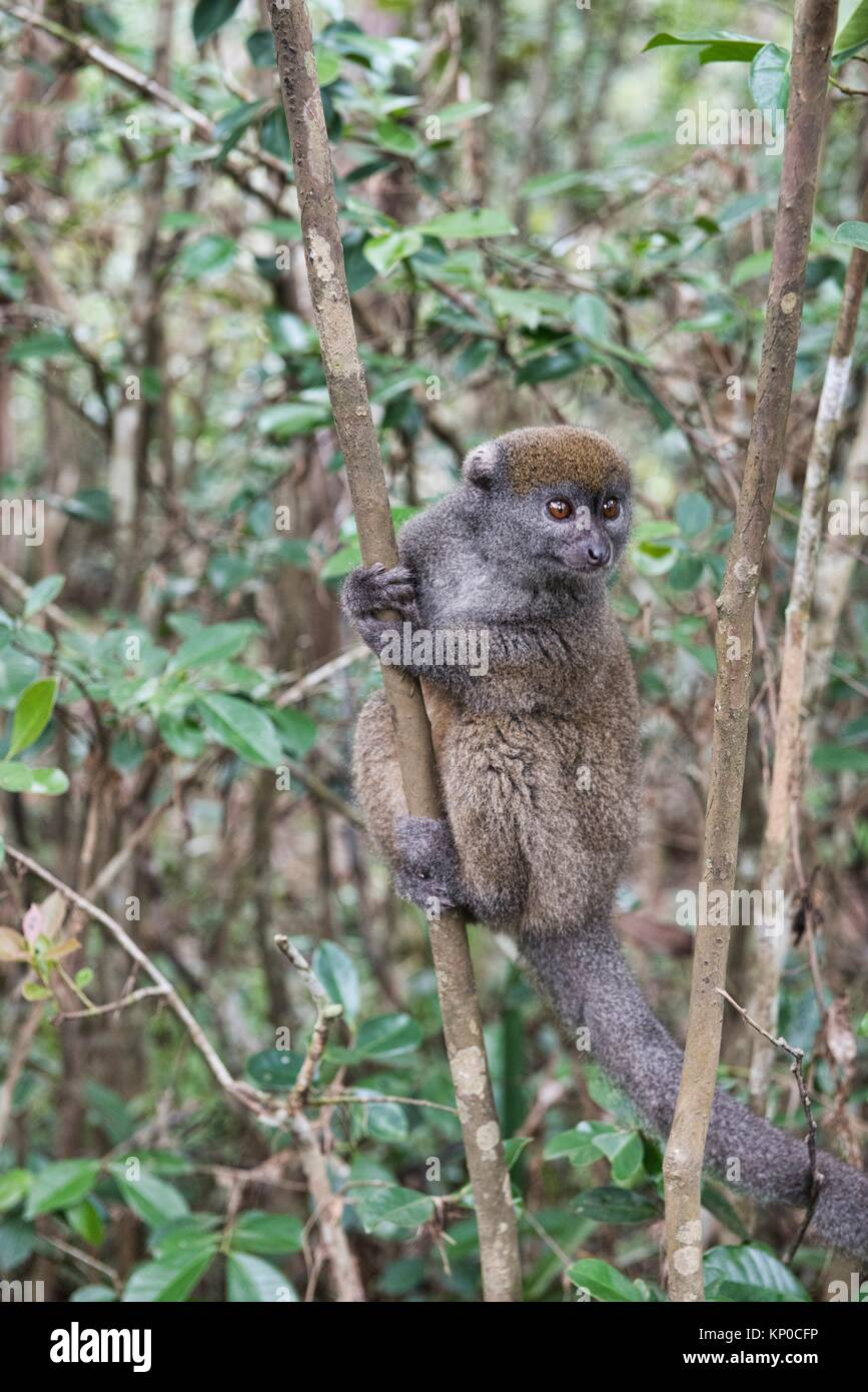 Eastern grey bamboo lemur, Ranomafana National Park, Madagascar. - Stock Image