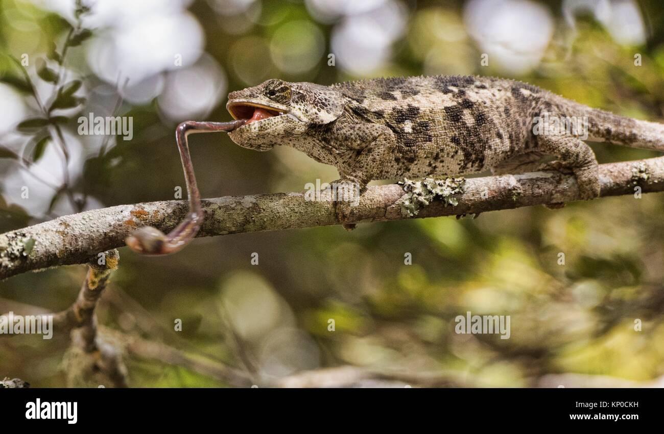 Elephant-eared chameleon eats a cricket, Andasibe-Mantadia National Park, Madagascar. - Stock Image
