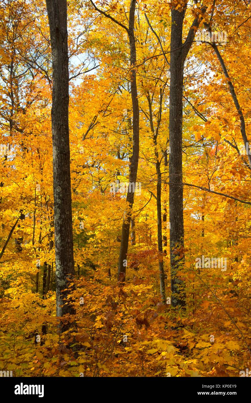 Forest along Raven Nature Trail, Northern Highland American Legion (NHAL) State Forest, Wisconsin. - Stock Image