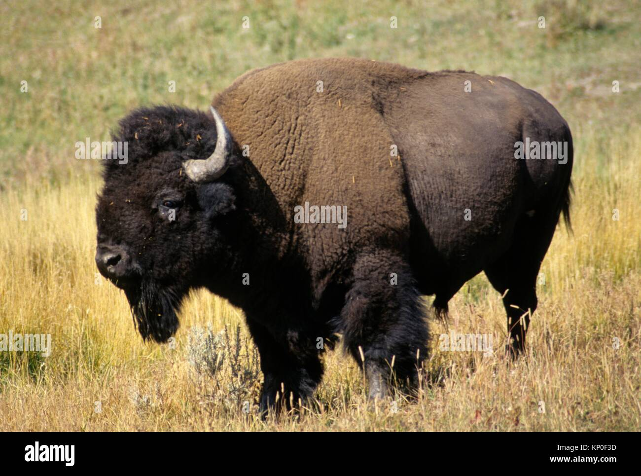 Bison in The Canyon area, Yellowstone National Park, Wyoming. - Stock Image