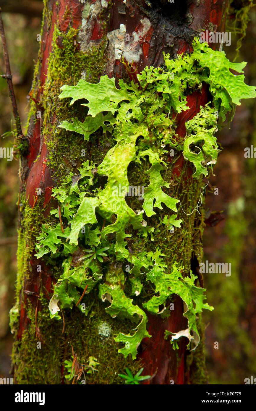 Lichen on Pacific yew along McKenzie River National Recreation Trail, Willamette National Forest, McKenzie Pass - Stock Image