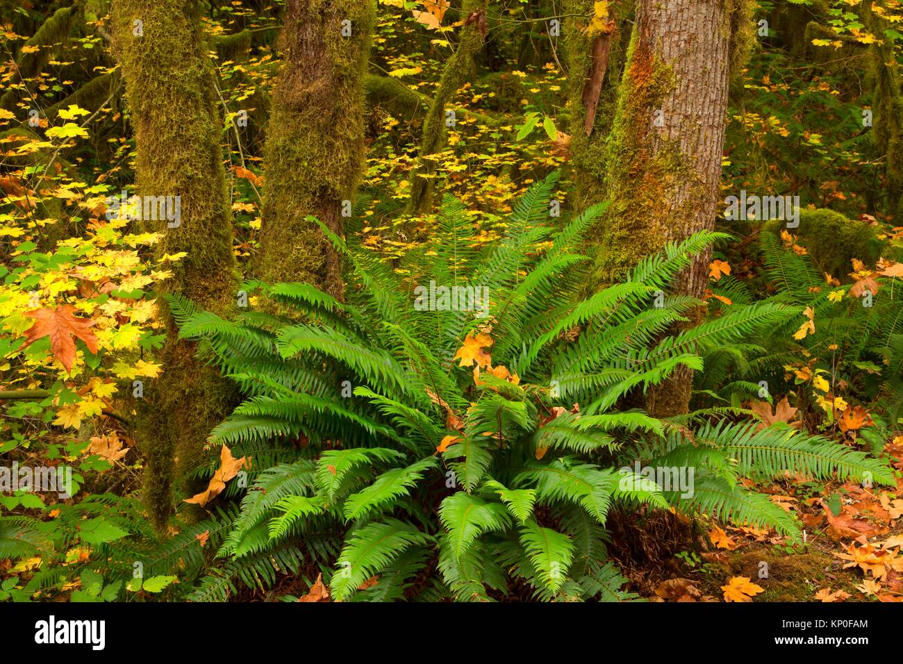 Western sword fern (Polystichum munitum) at Paradise Campground, McKenzie Wild and Scenic River, Willamette National - Stock Image