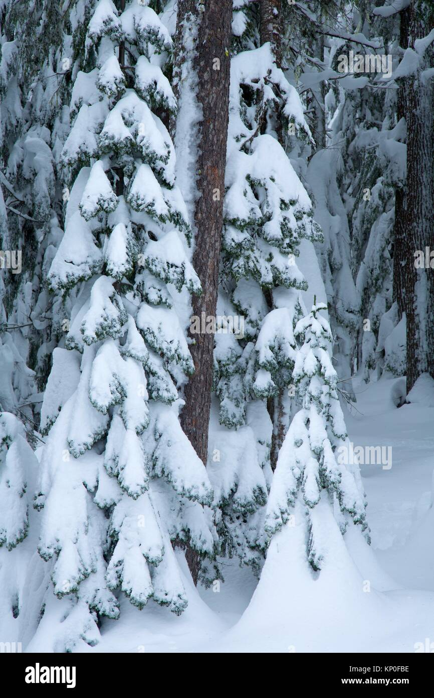 Forest at Gold Lake sno-park, Willamette National Forest, Oregon. - Stock Image