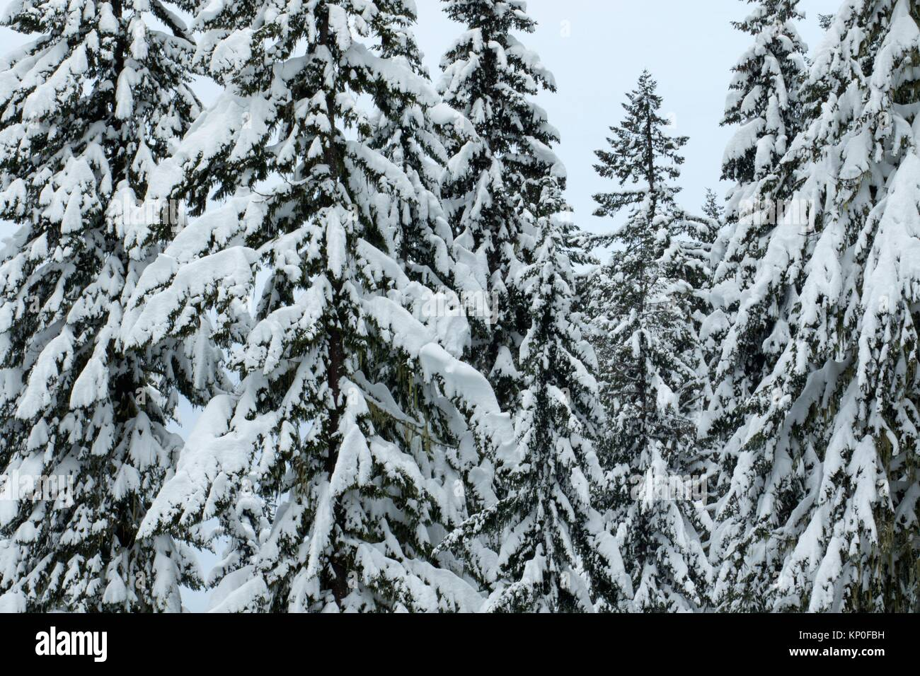 Winter forest at Waldo Lake sno-park, Willamette National Forest, Oregon. - Stock Image