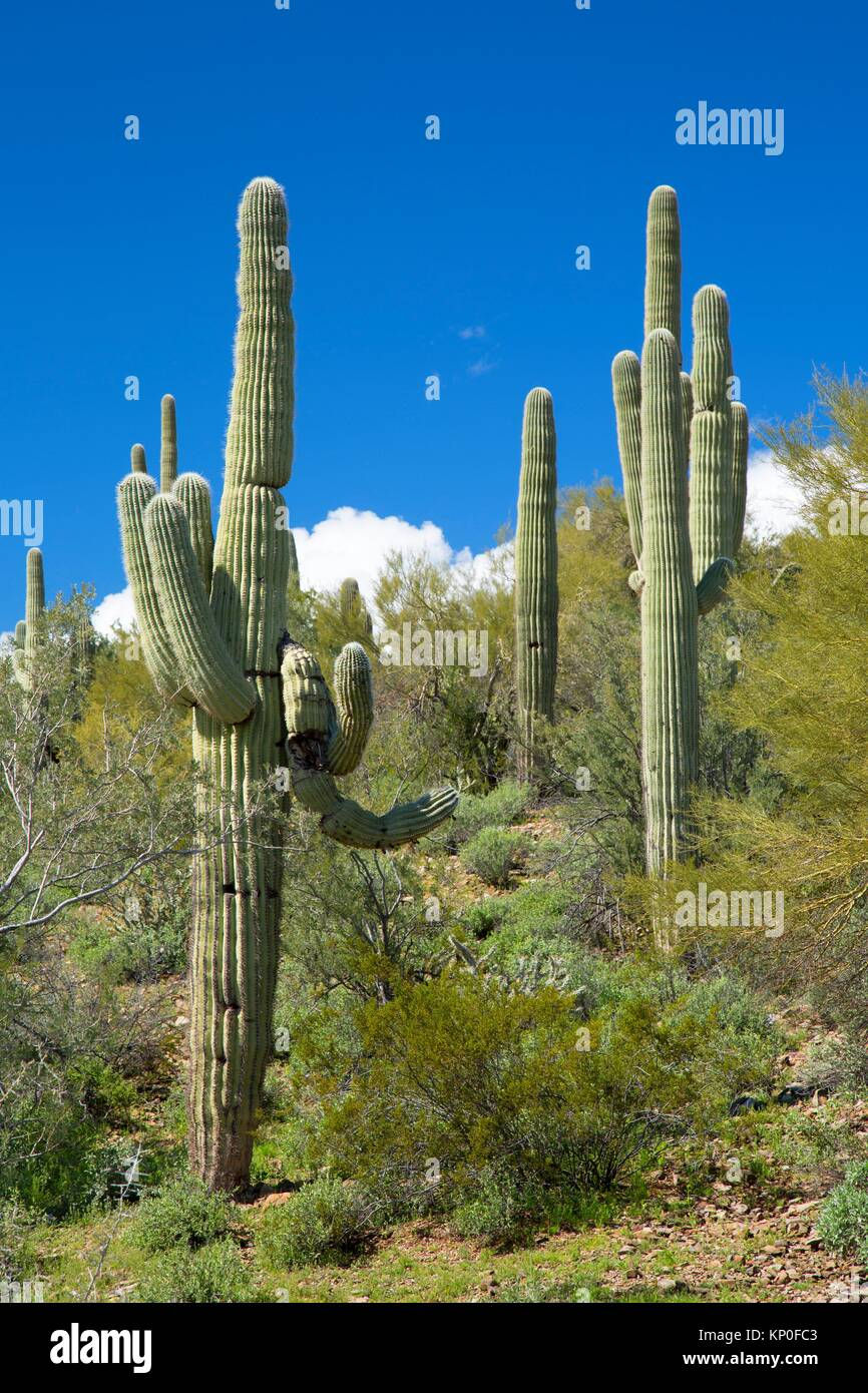Saguaro in Hieroglyphic Mountains, Maricopa County Bureau of Land Management, Arizona. - Stock Image