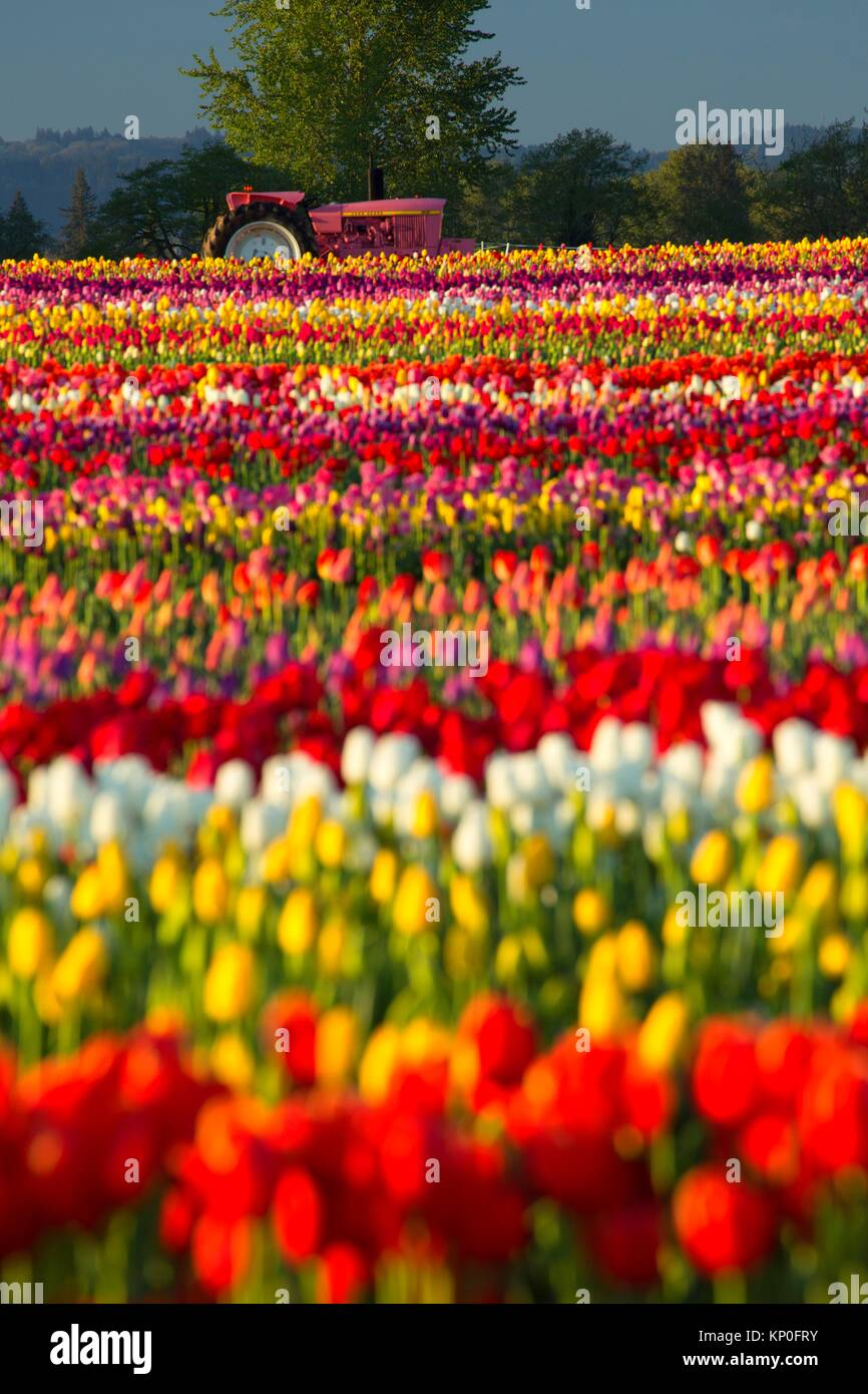 Tulip field with tractor, Wooden Shoe Bulb Co. , Clackamas County, Oregon. - Stock Image