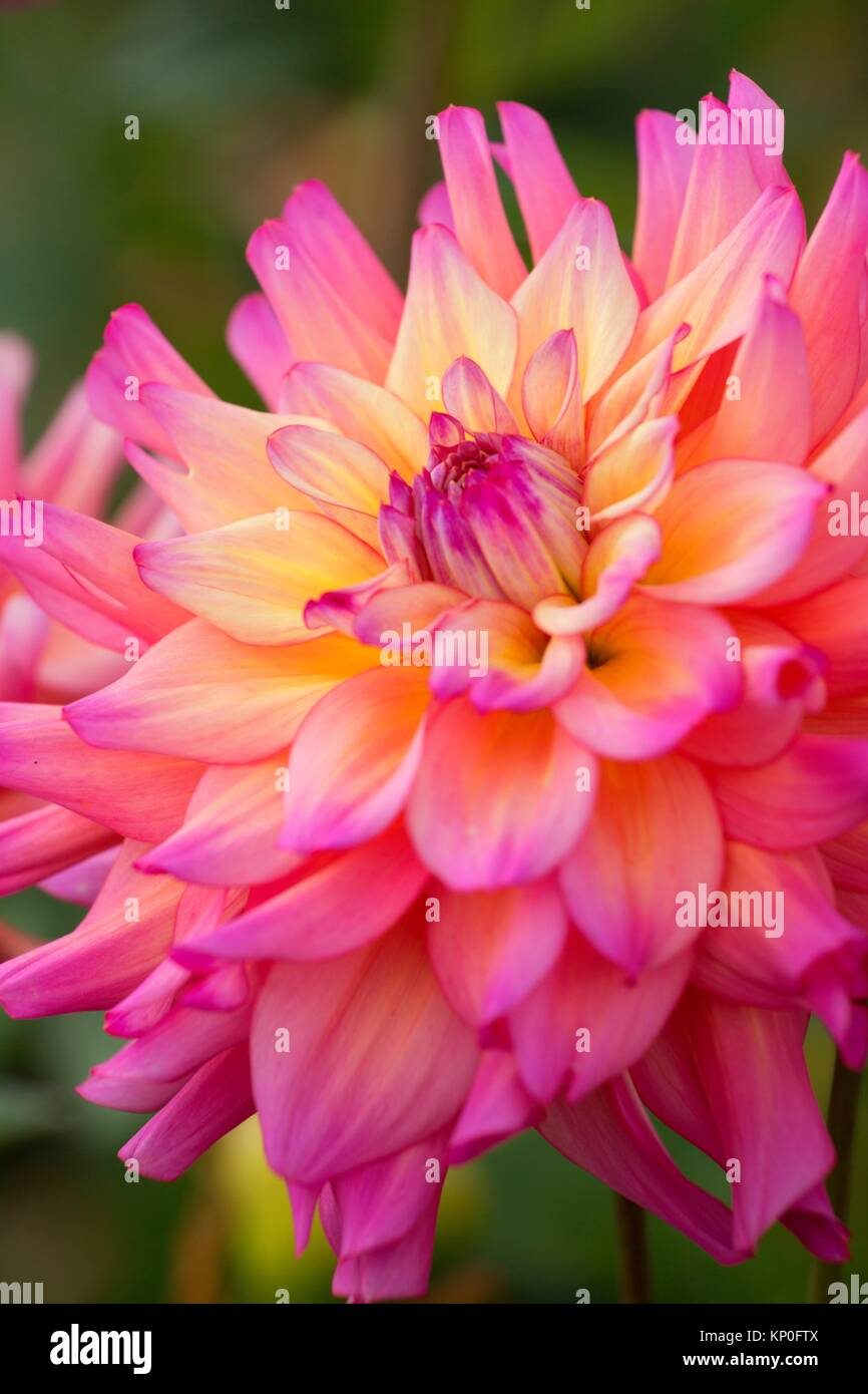 Bahama Mama dahlia, Swan Island Dahlias, Canby, Oregon. - Stock Image
