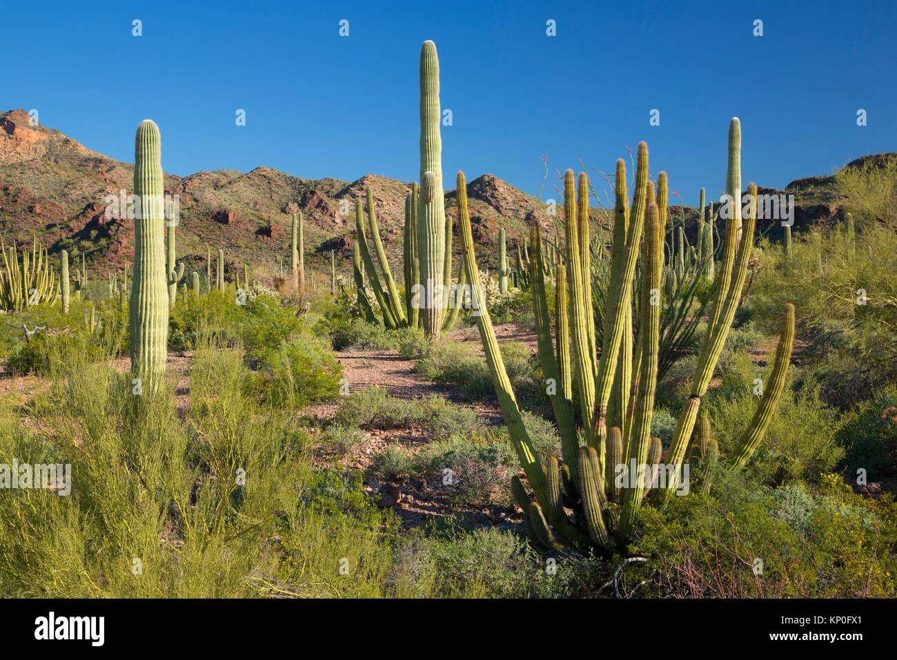 Desert with saguaro and organ pipe cactus along Ajo Mountain Drive, Organ Pipe Cactus National Monument, Arizona. - Stock Image