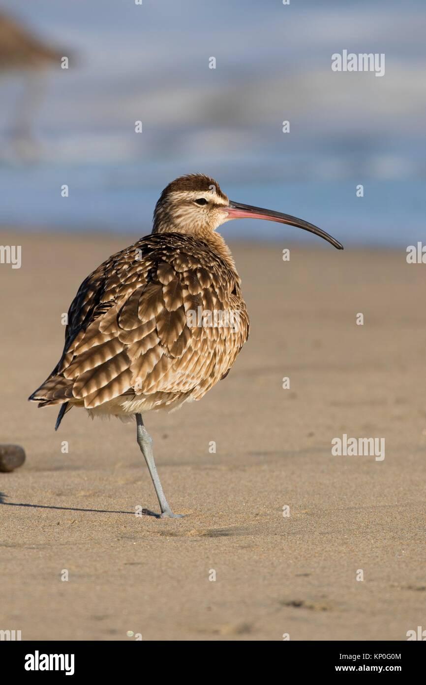 Whimbrel, Municipal Beach Park, Monterey, California. - Stock Image
