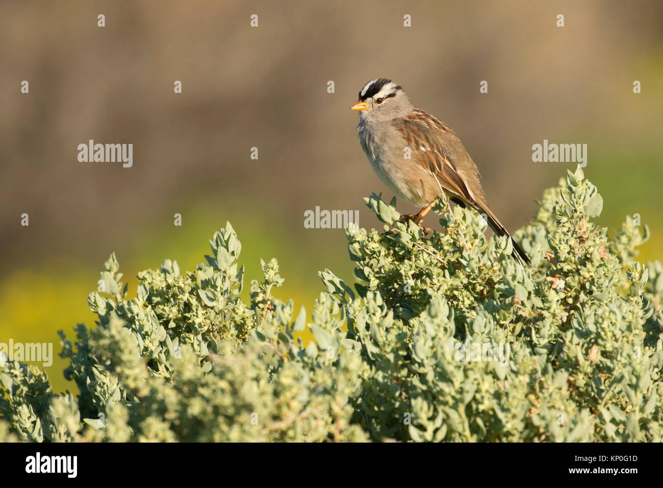 White-crowned sparrow, Carrizo Plain National Monument, California. - Stock Image