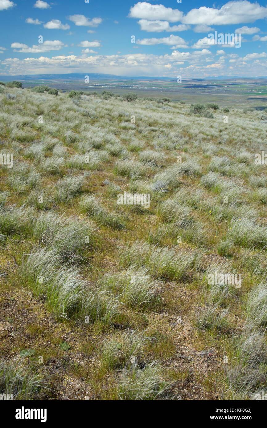 Grassland at Saddle Mountain Overlook, Hanford Reach National Monument, Washington. - Stock Image
