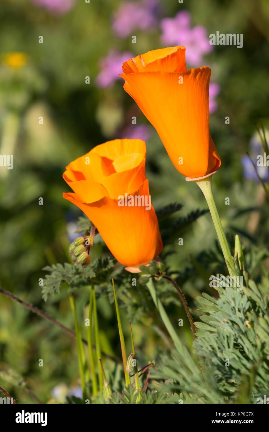 California poppies (Eschscholzia californica), Antelope Valley California Poppy State Reserve, California. - Stock Image