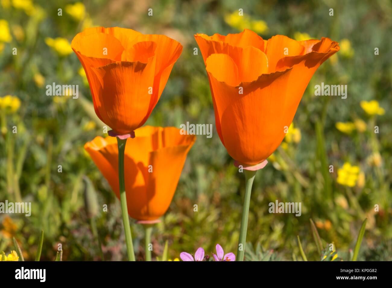 California Poppies Eschscholzia Californica Antelope Valley Stock