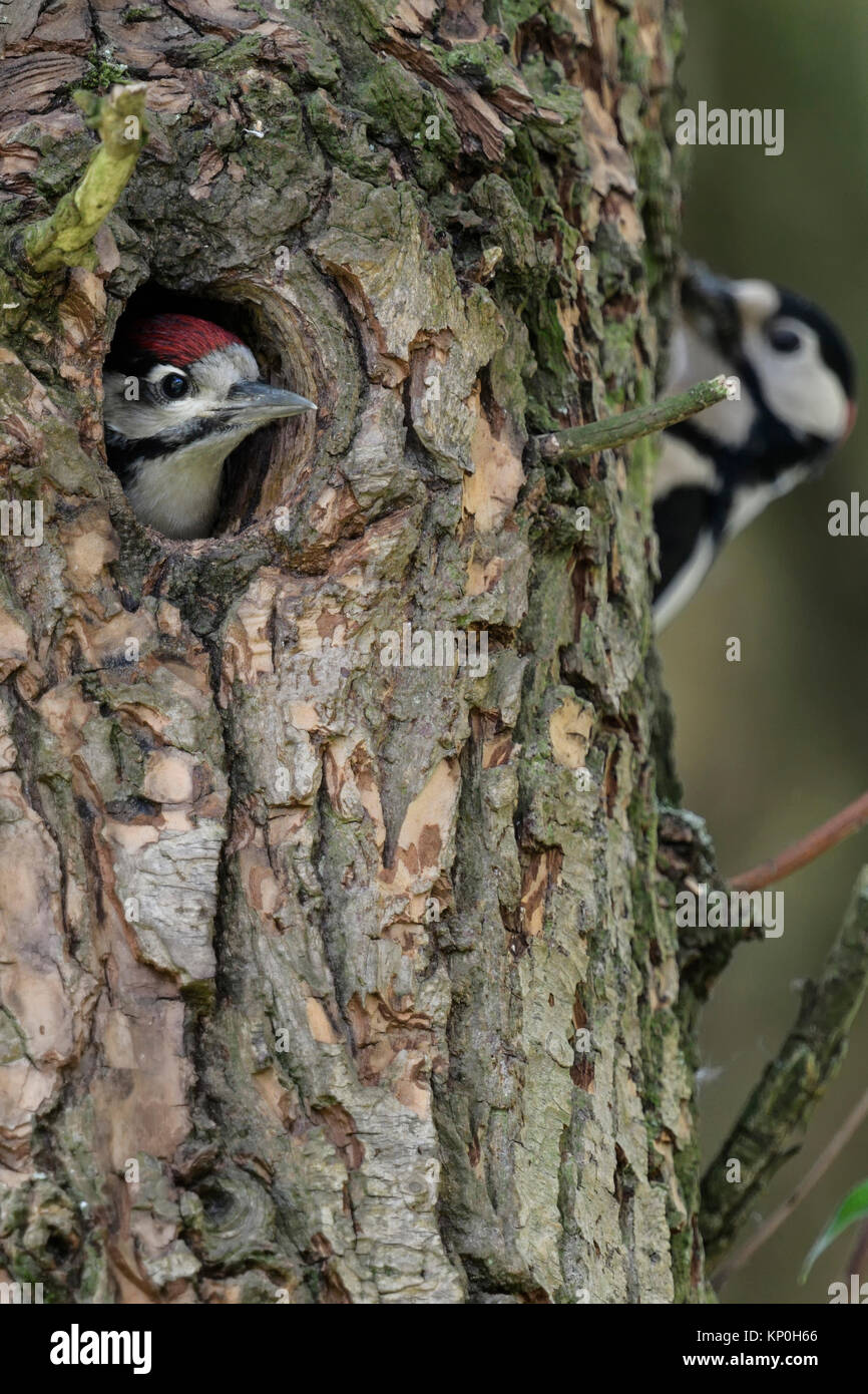 Greater / Great Spotted Woodpecker / Buntspecht ( Dendrocopos major ) young in nest hole anticipating feeding male, - Stock Image