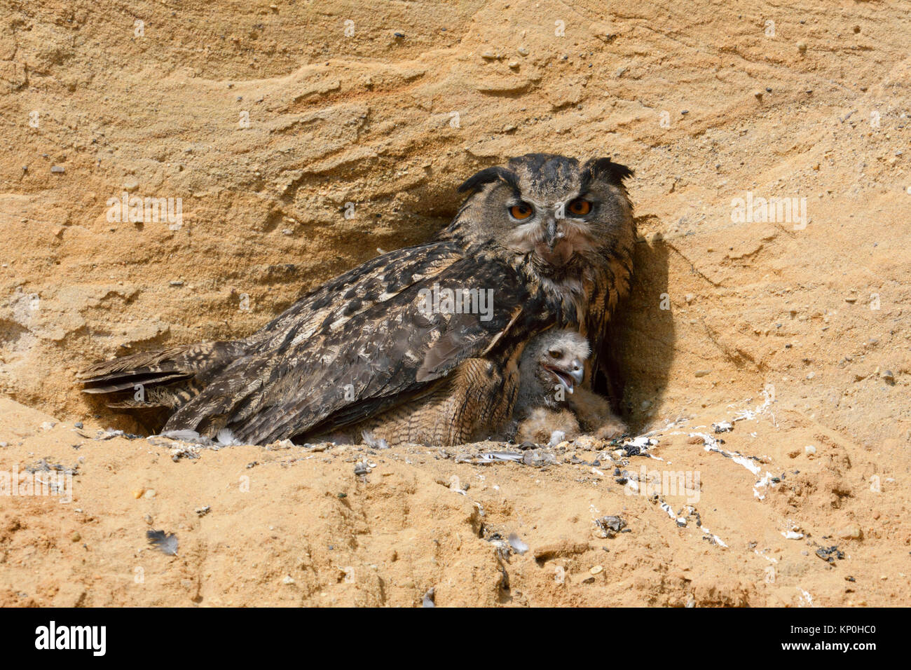 Eurasian Eagle Owl / Europaeischer Uhu ( Bubo bubo ), breeding site, adult gathering its chicks, in a sand pit, - Stock Image