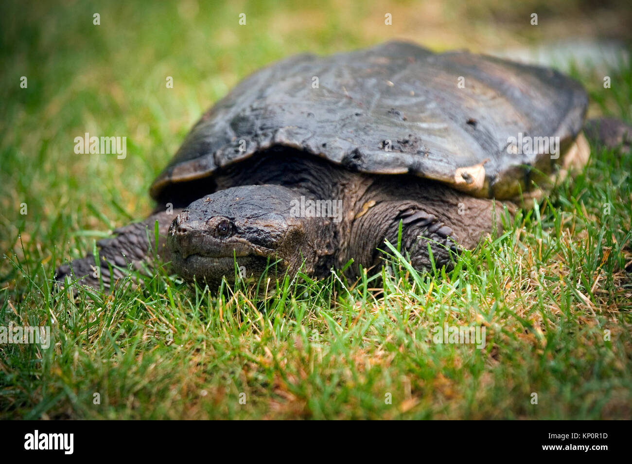 A snapping Turtle (Chelydra serpentine) on Cape Cod, Massachusetts, USA Stock Photo