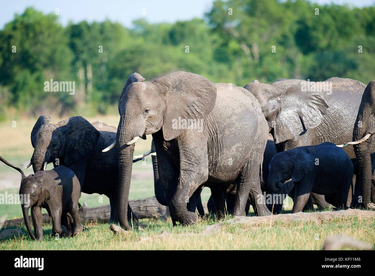 African elephant group (Loxodonta africana) with females and young foraging in the savanna. Hwange National Park, - Stock Image