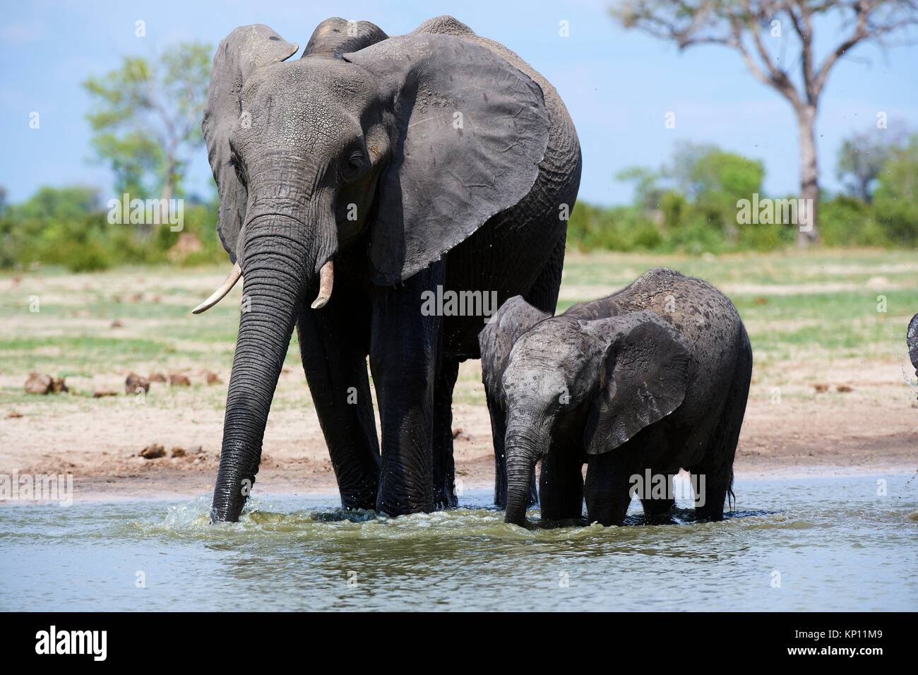 African elephant mother and calf (Loxodonta africana) drinking at a watehole. Hwange National Park, Zimbabwe. - Stock Image