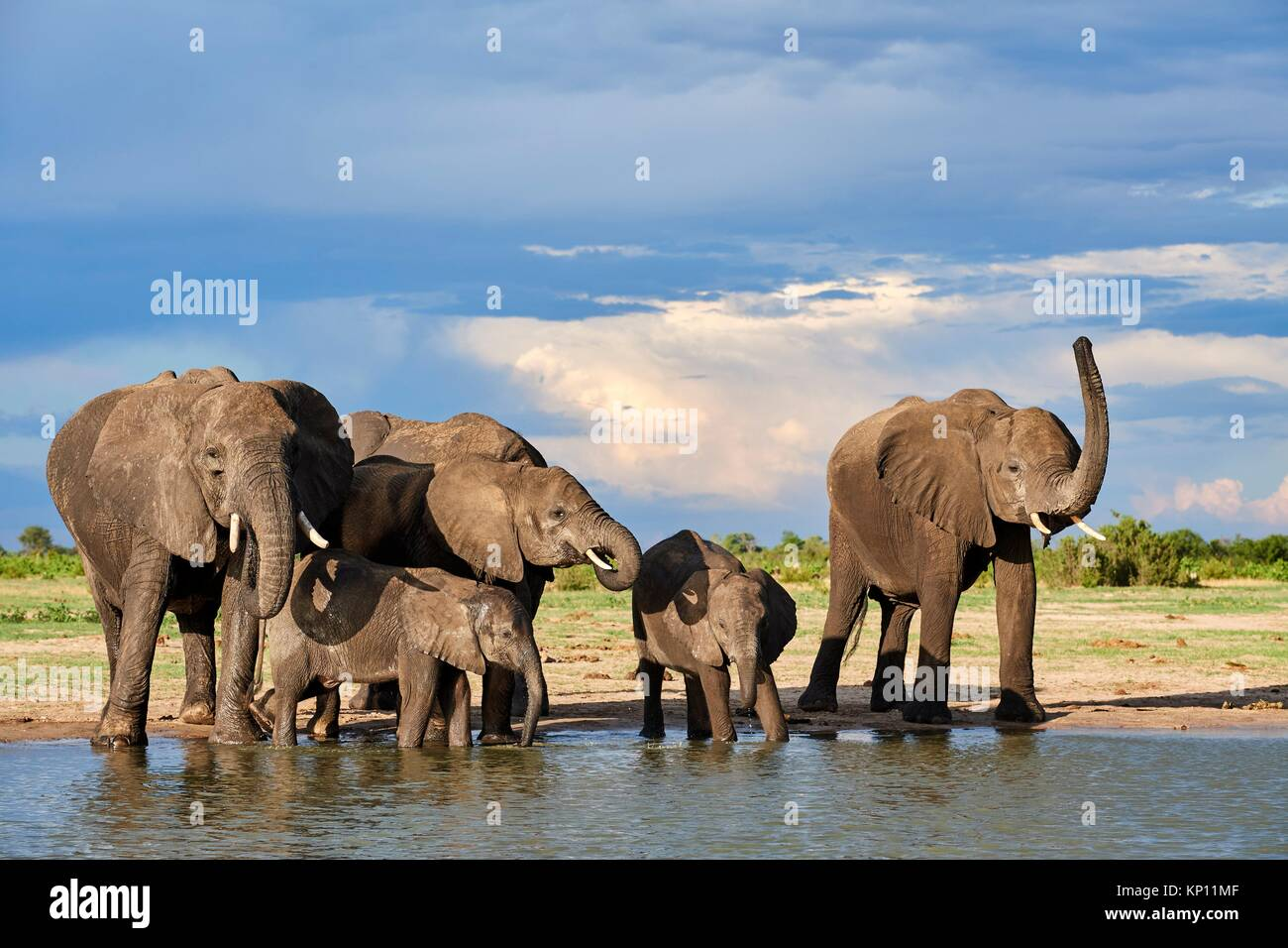 African elephant group (Loxodonta africana) drinking at a watehole. Hwange National Park, Zimbabwe. Stock Photo