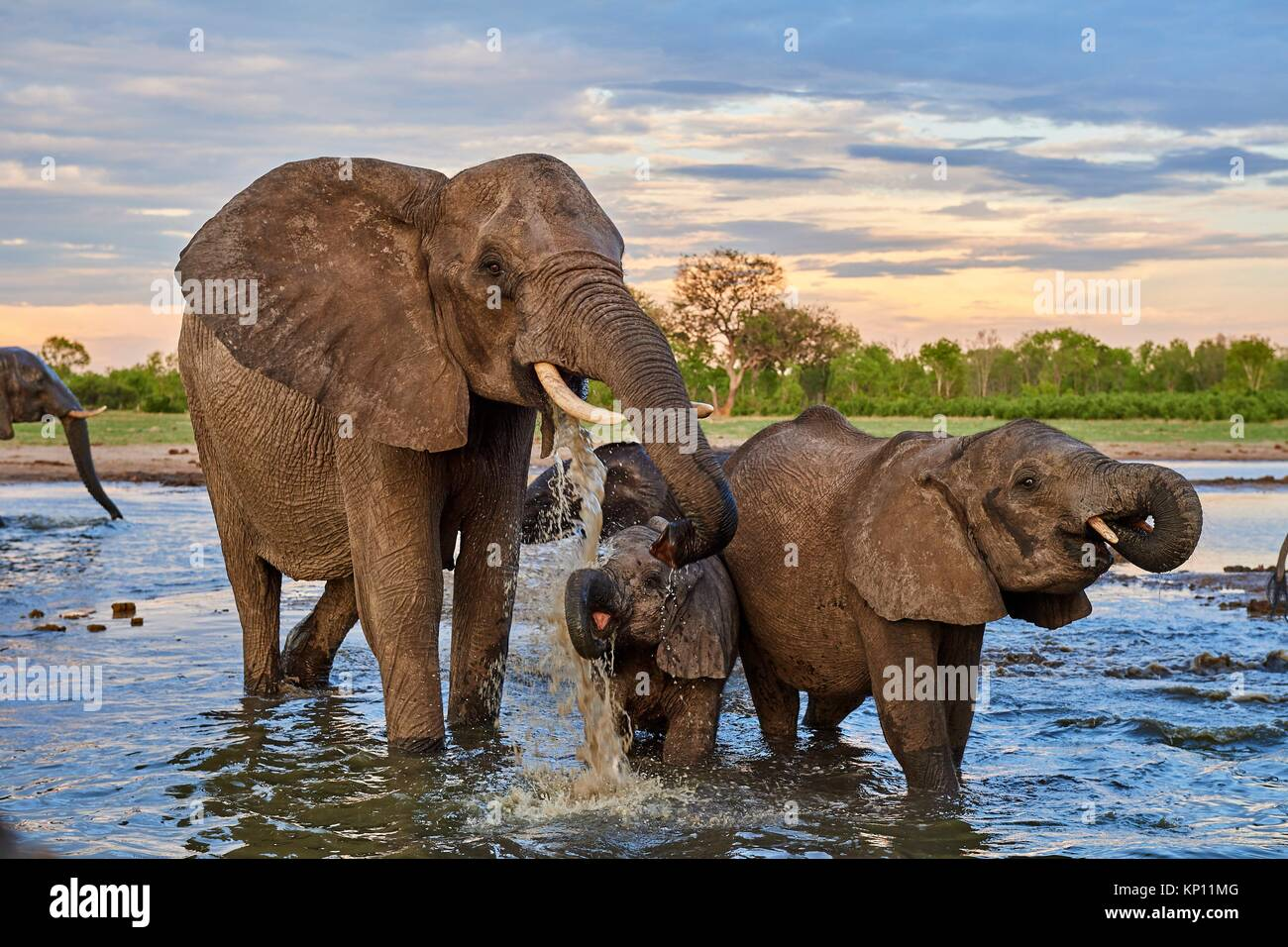 African elephant group (Loxodonta africana) drinking at a watehole. Mother and calf, Hwange National Park, Zimbabwe. - Stock Image