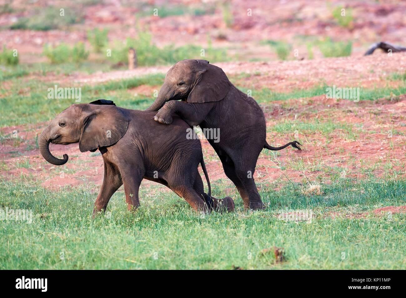 African elephant, calves of different ages playing (Loxodonta africana), Matusadona National Park, Zimbabwe. - Stock Image