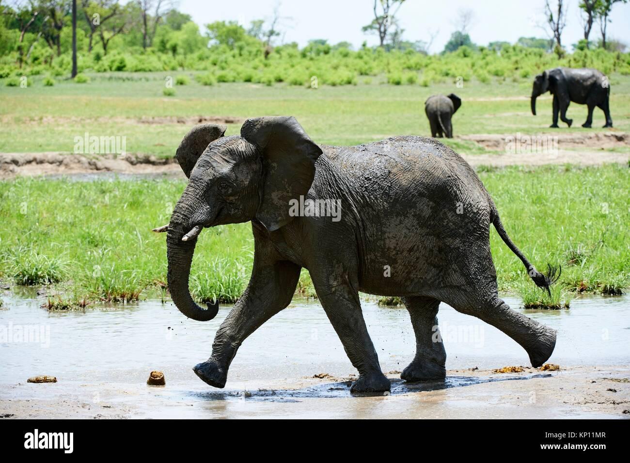 Young African elephant (Loxodonta africana) walking near waterhole. Hwange National Park, Zimbabwe. - Stock Image