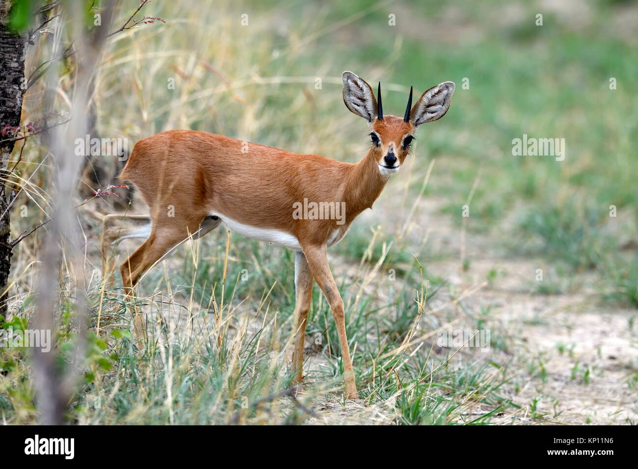 Steenbok male (Raphicerus campestris) Hwange National Park, Zimbabwe. - Stock Image