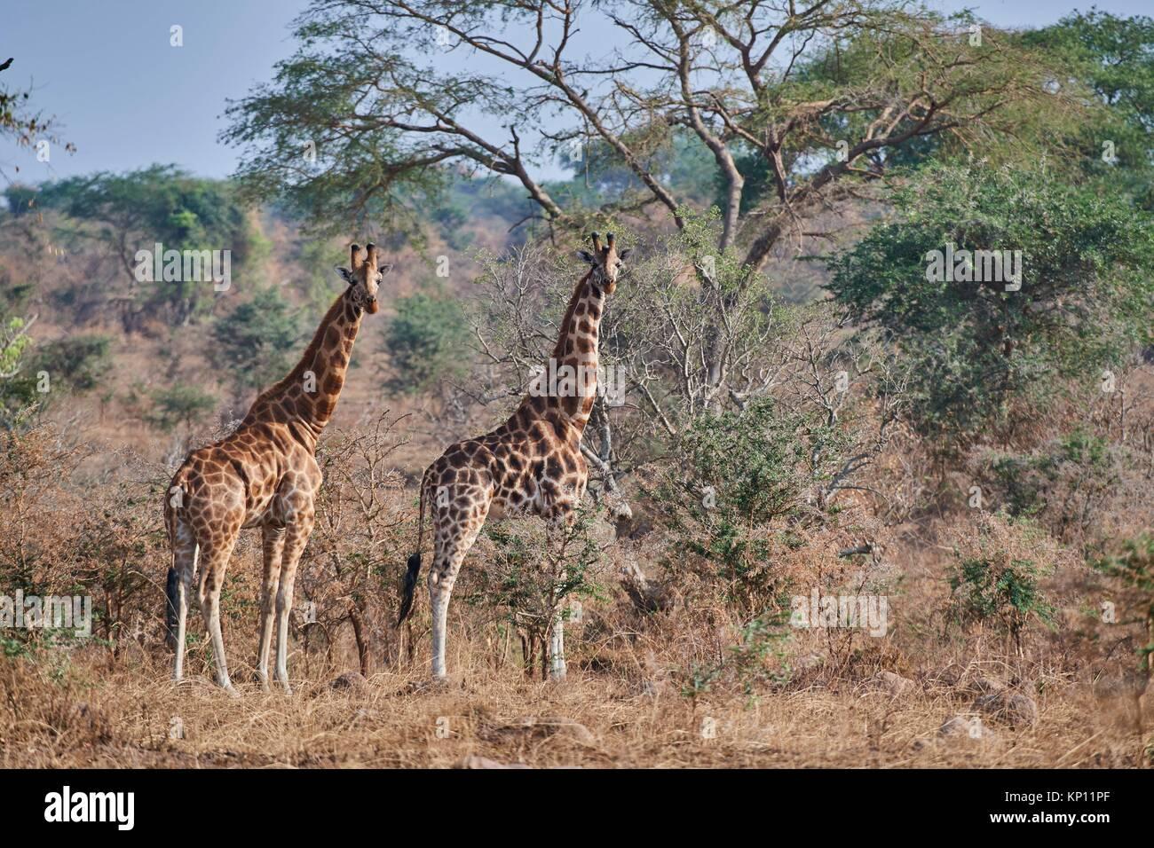 Rothschild's giraffe (Giraffa camelopardalis rothschildi) in Murchisson Falls National Park, Uganda. - Stock Image
