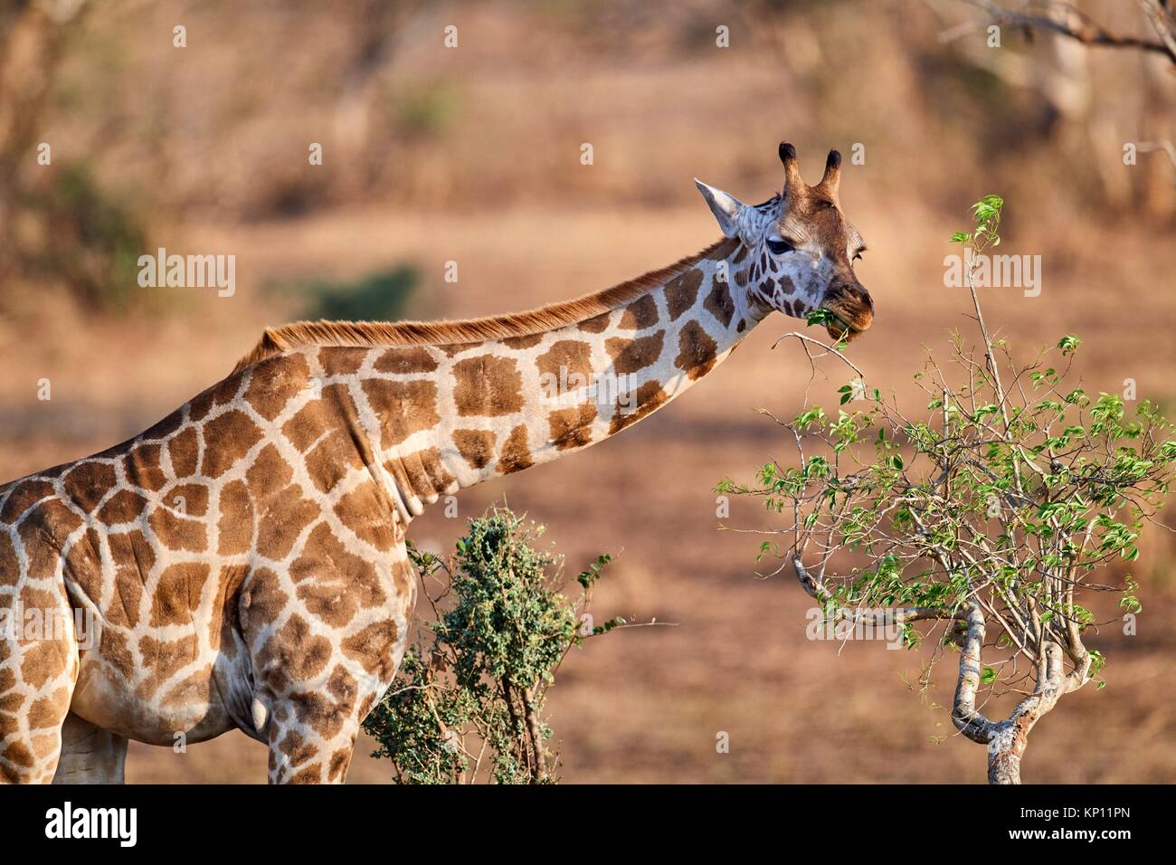 Rothschild's giraffe (Giraffa camelopardalis rothschildi) feeding on acacia tree in Murchisson Falls National - Stock Image