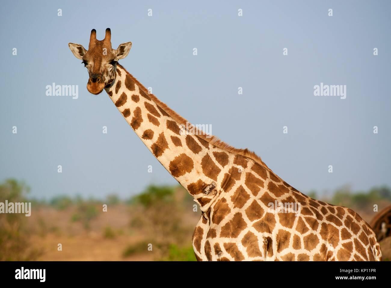 Rothschild's giraffe (Giraffa camelopardalis rothschildi) portrait in Murchisson Falls National Park, Uganda. - Stock Image