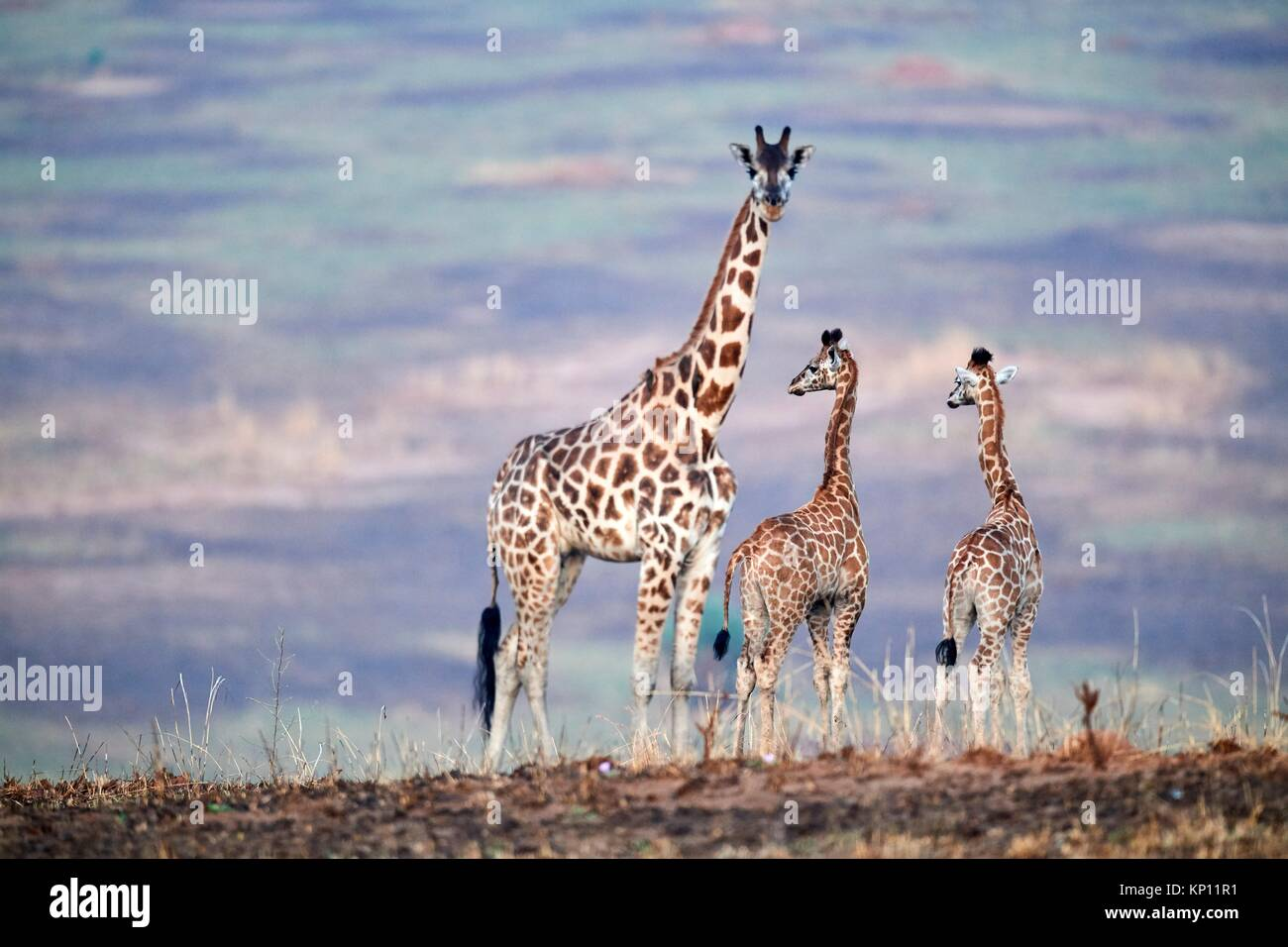 Rothschild's giraffe mother and young (Giraffa camelopardalis rothschildi) Murchisson Falls National Park, Uganda. - Stock Image