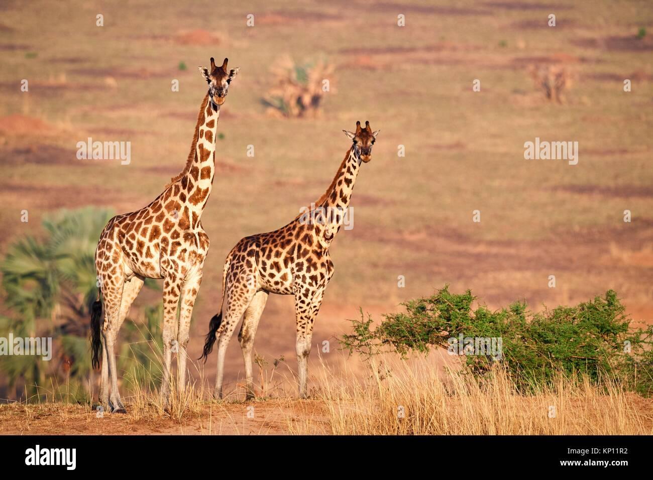 Rothschild's giraffe (Giraffa camelopardalis rothschildi) female in Murchisson Falls National Park, Uganda. - Stock Image