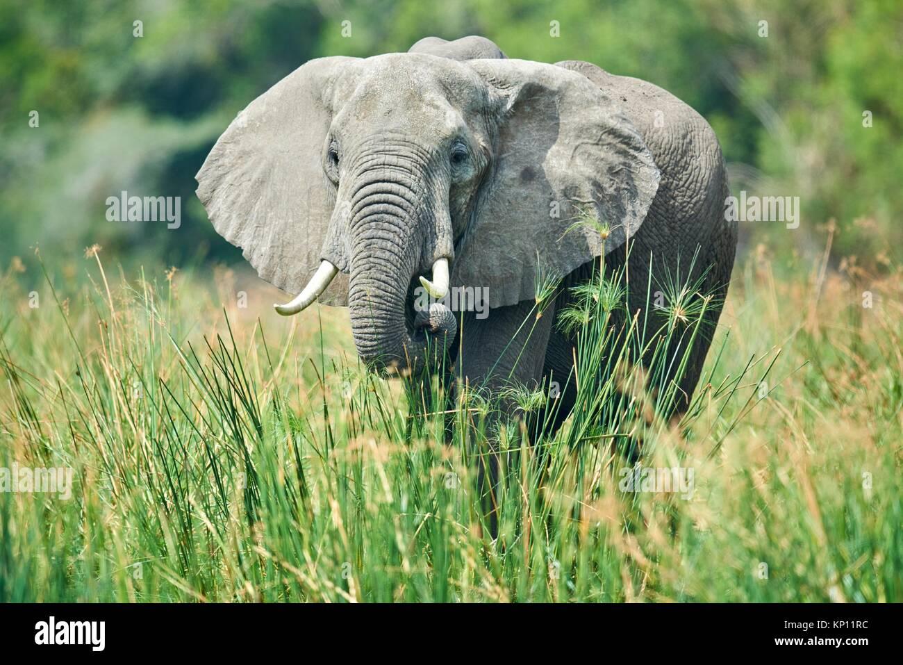 African elephant (Loxodonta africana) feeding on vegetation. Murchisson Falls National Park, Uganda. - Stock Image
