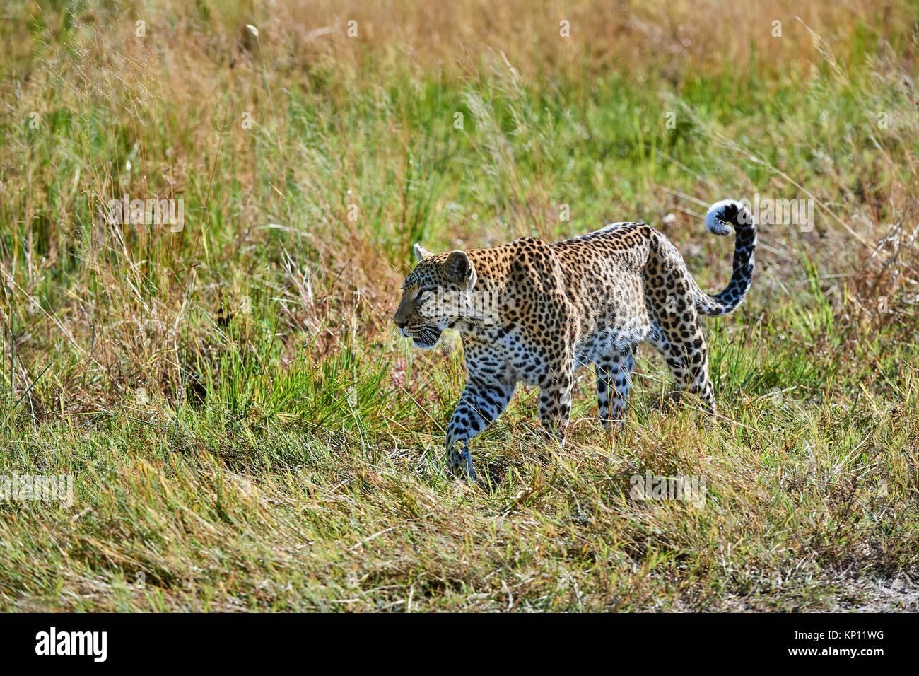 African leopard female (Panthera pardus) walking through grassland. Moremi National Park, Okavango delta, Botswana, - Stock Image