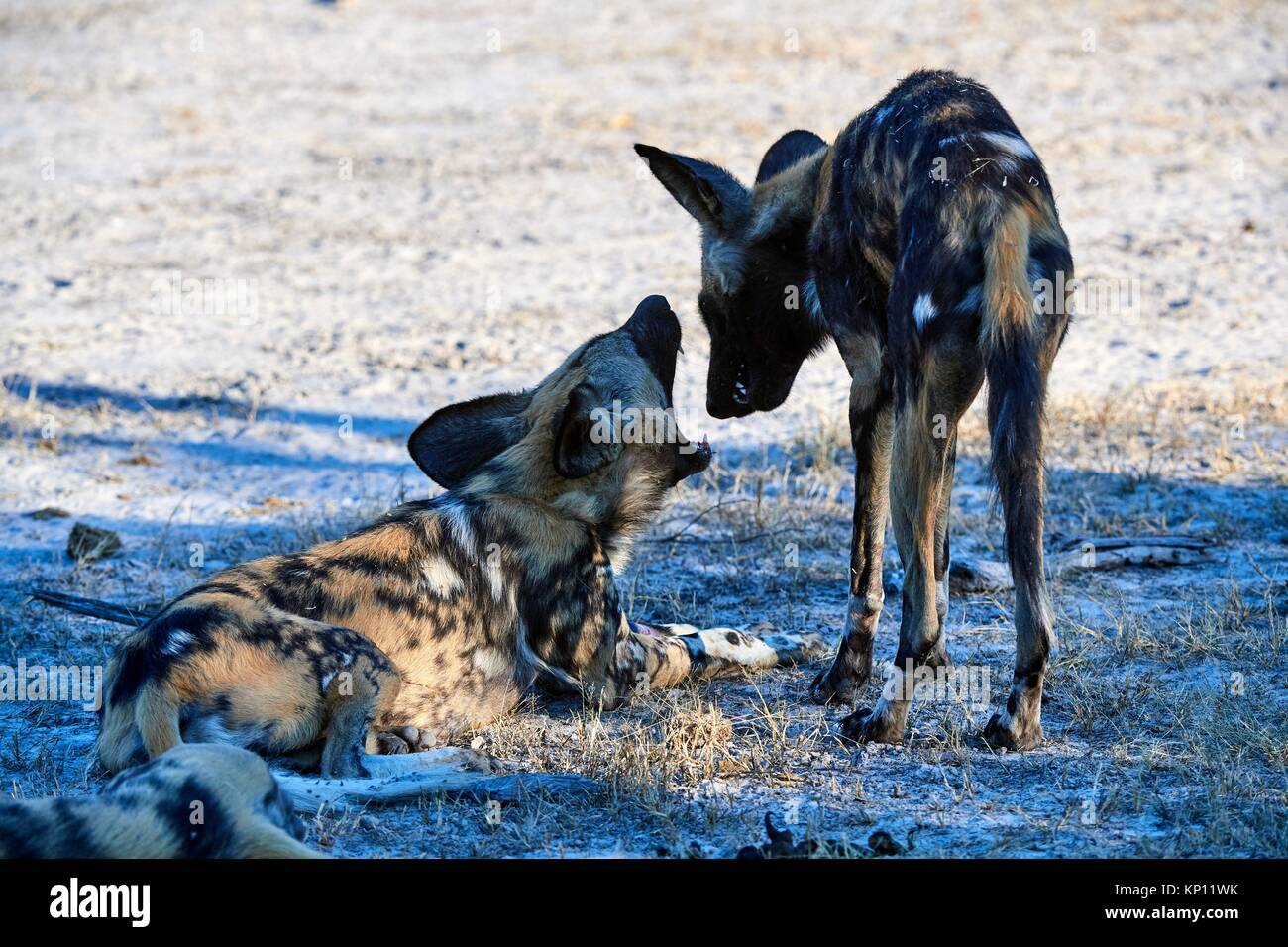 African wild dogs (Lycaon pictus) greeting each other. Moremi National Park, Okavango delta, Botswana, Southern - Stock Image