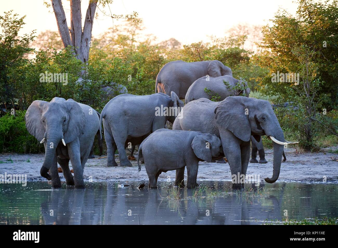 African elephant family cooling down at sunset at a waterhole (Loxodonta africana) Moremi National Park, Okavango - Stock Image