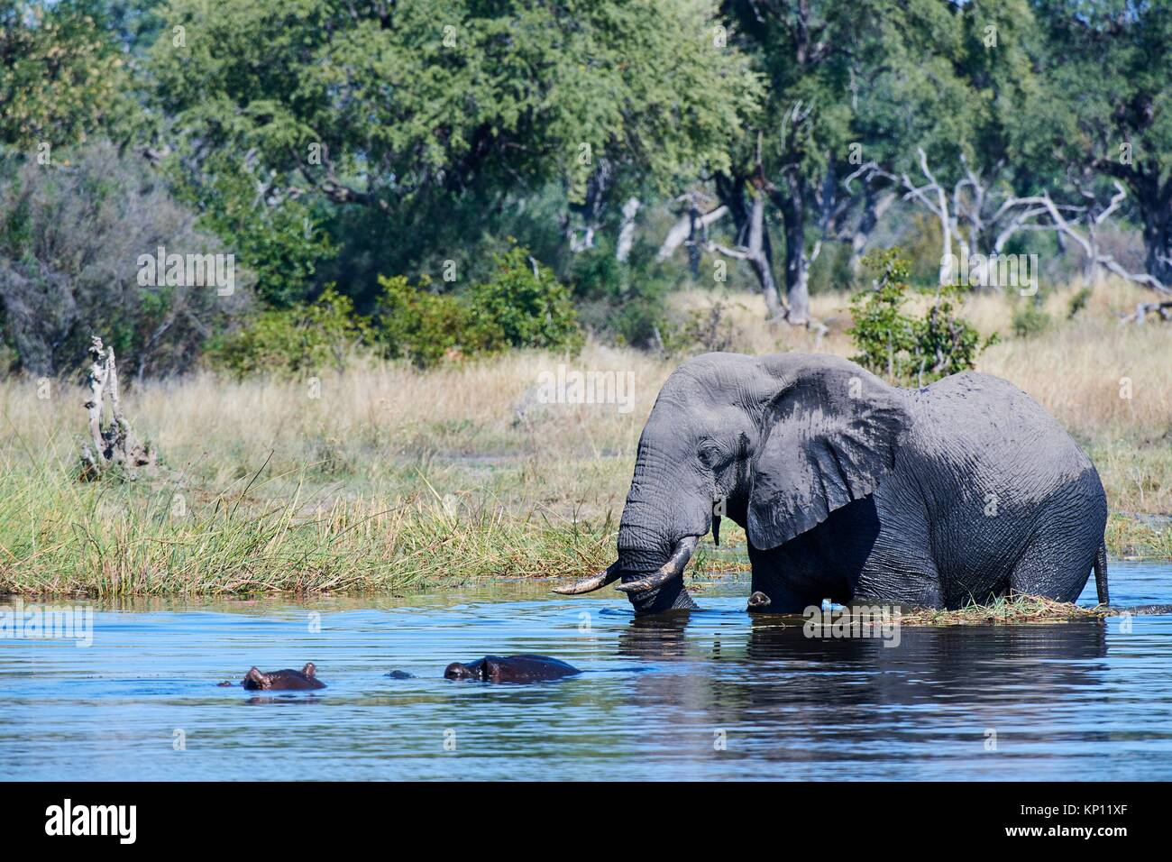 African elephant bull (Loxodonta africana) crossing Khwai river in front of Hippopotamus (Hippopotamus amphibius), Stock Photo