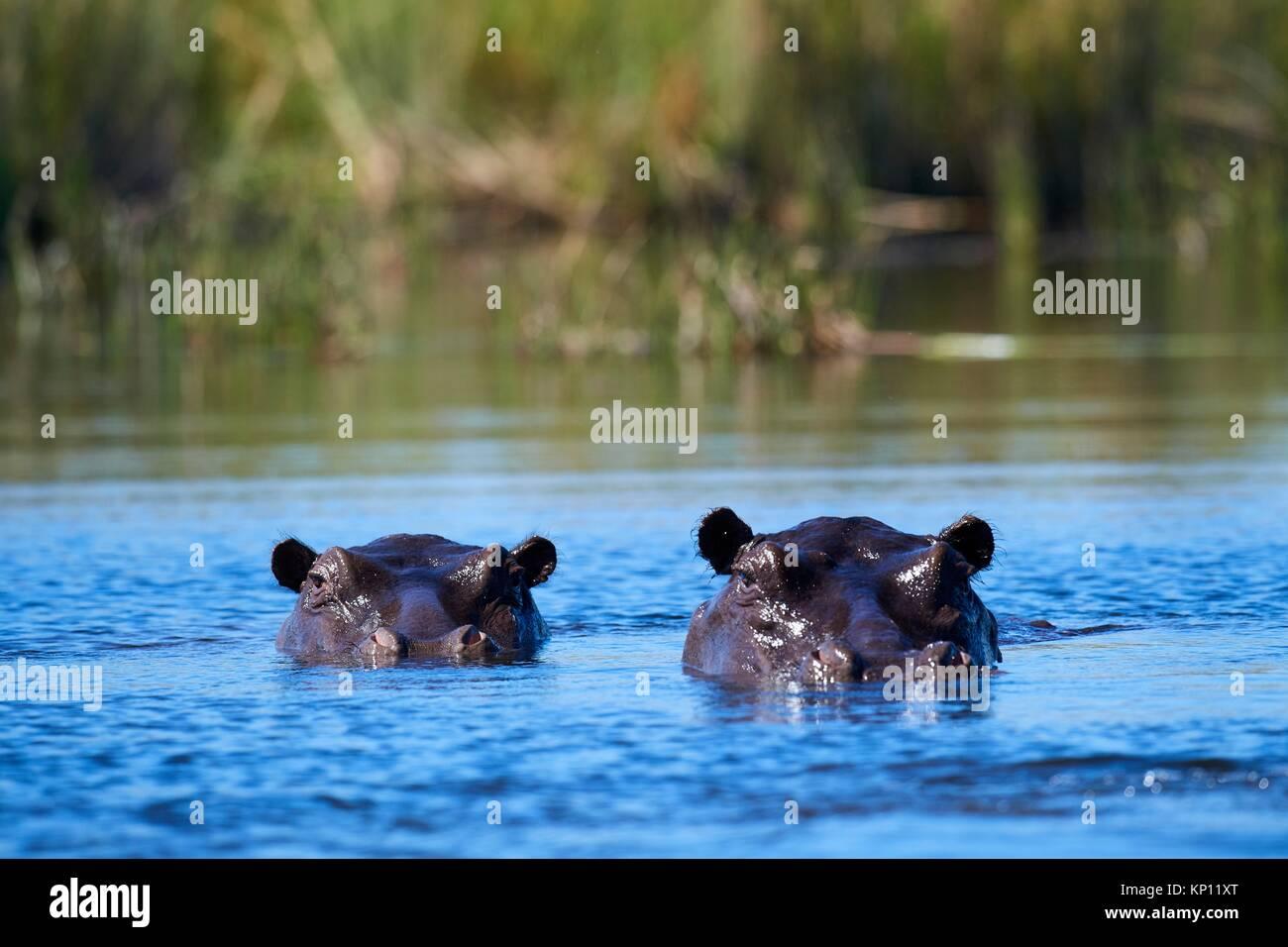 Hippopotamus (Hippopotamus amphibius) submerged in water. Moremi National Park, Okavango delta, Botswana, Southern - Stock Image