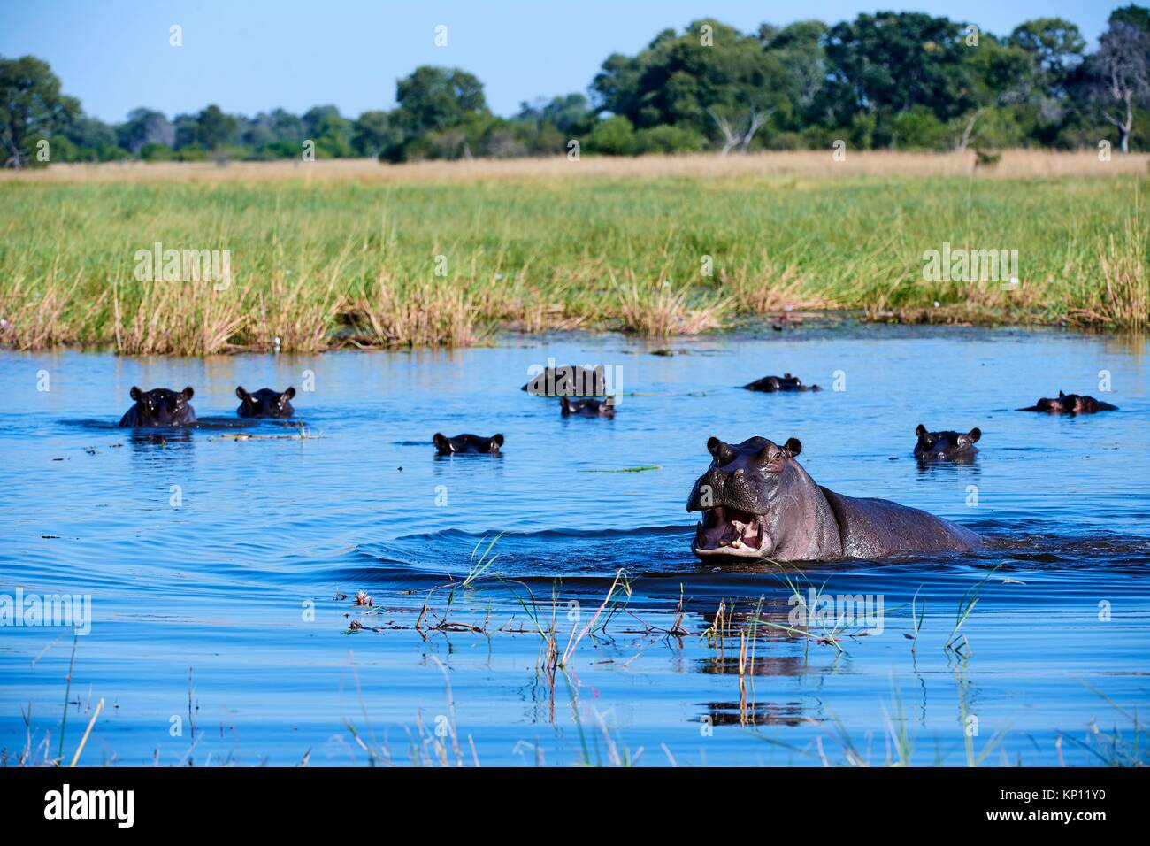 Hippopotamus (Hippopotamus amphibius) showing territorial agression. Moremi National Park, Okavango delta, Botswana, - Stock Image