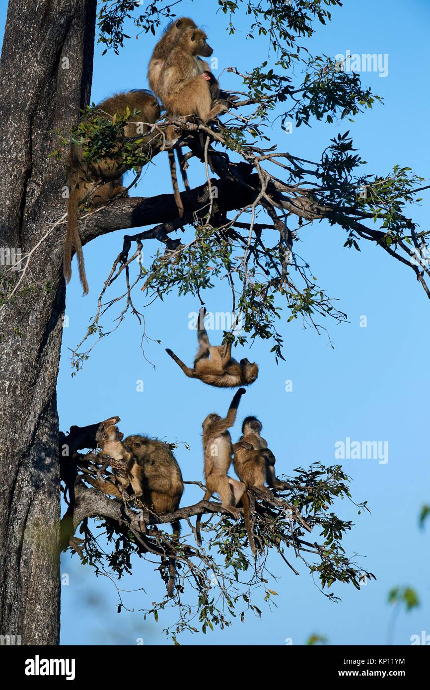 Chacma baboon family roosting in a tree (Papio ursinus) with juveniles playing, Duba Plains concession, Okavango - Stock Image