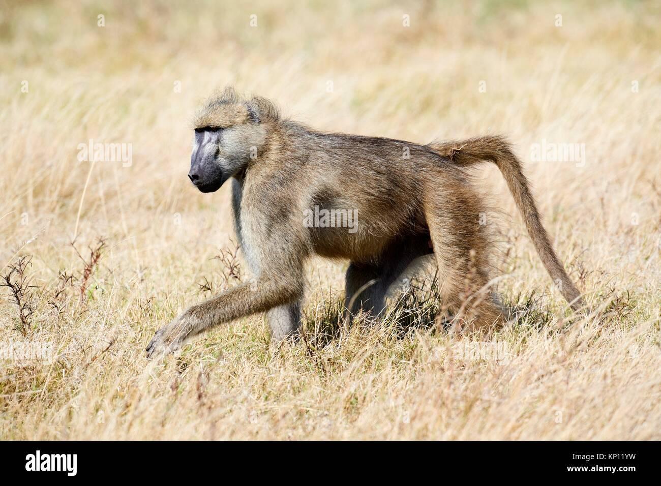Chacma baboon (Papio ursinus), Duba Plains concession, Okavango delta, Botswana, Southern Africa. - Stock Image