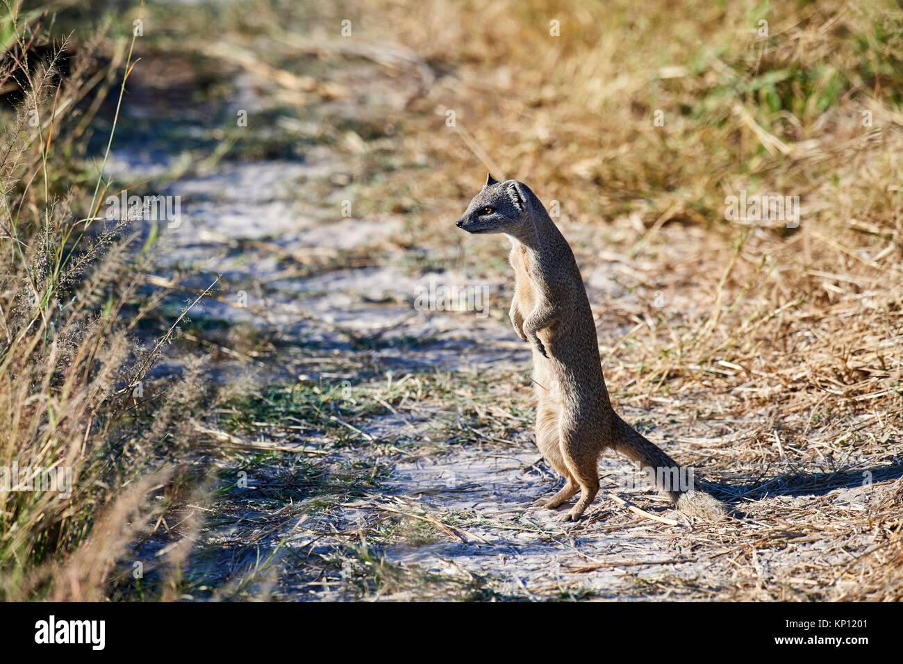 Yellow mongoose (Cynictis penicillata) in alert, trying to