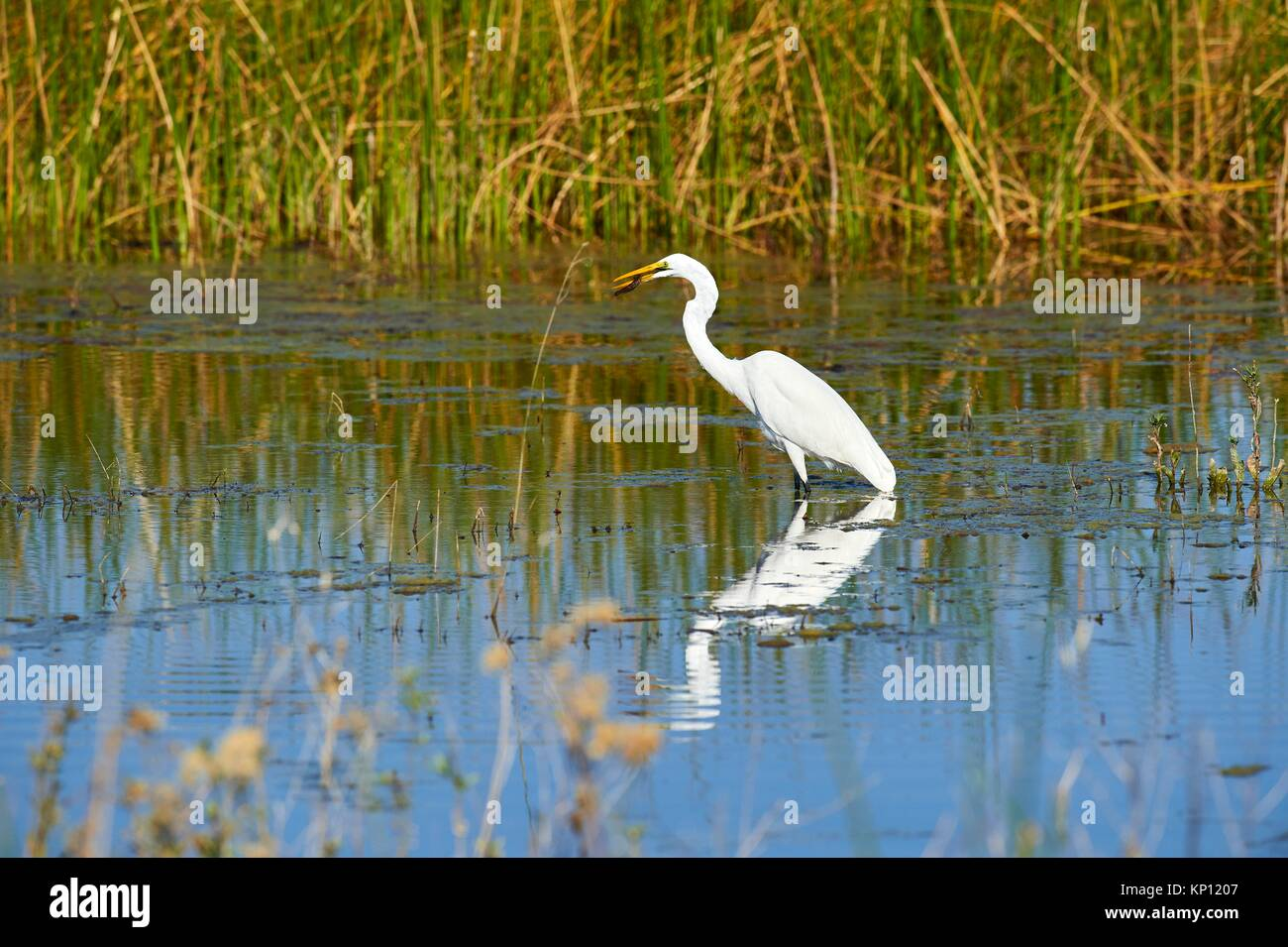 Great Egret flying (Ardea alba), catching fish in swamp, Moremi National Park, Okavango Delta, Botswana, Southern - Stock Image