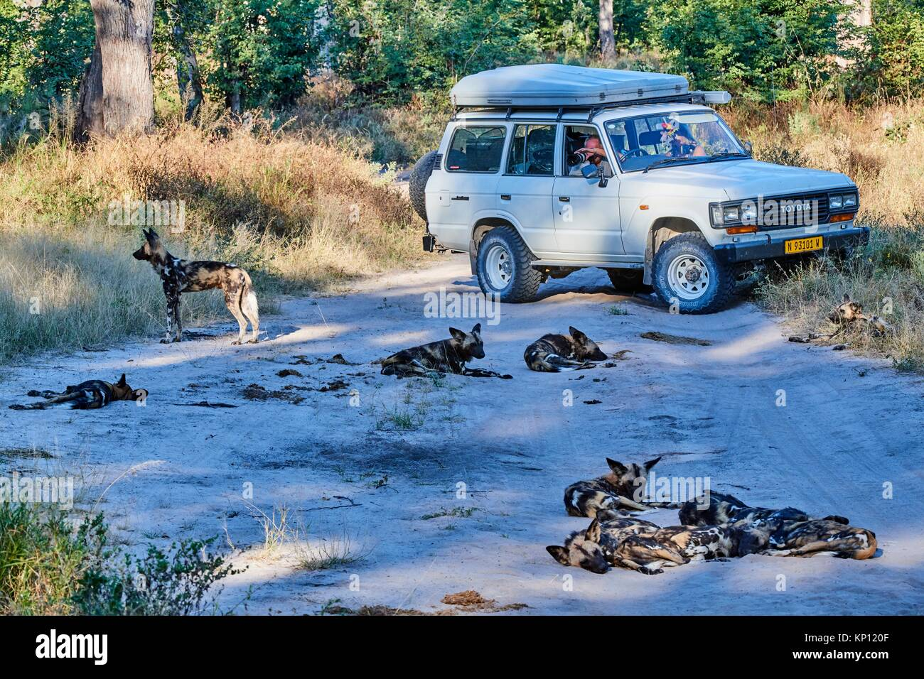 Tourists in car observing African wild dog pack (Lycaons pictus) resting on the main track road. Moremi National - Stock Image