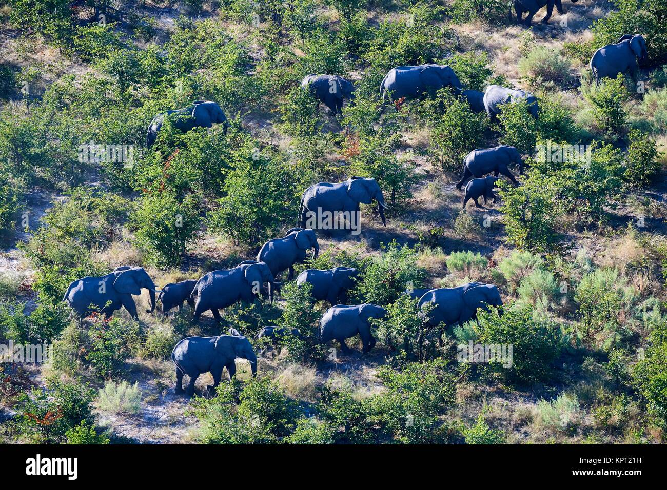 Aerial view of herd of African elephants (Loxodonta africana) walking on dry land, Okavango delta, Botswana, Africa. - Stock Image