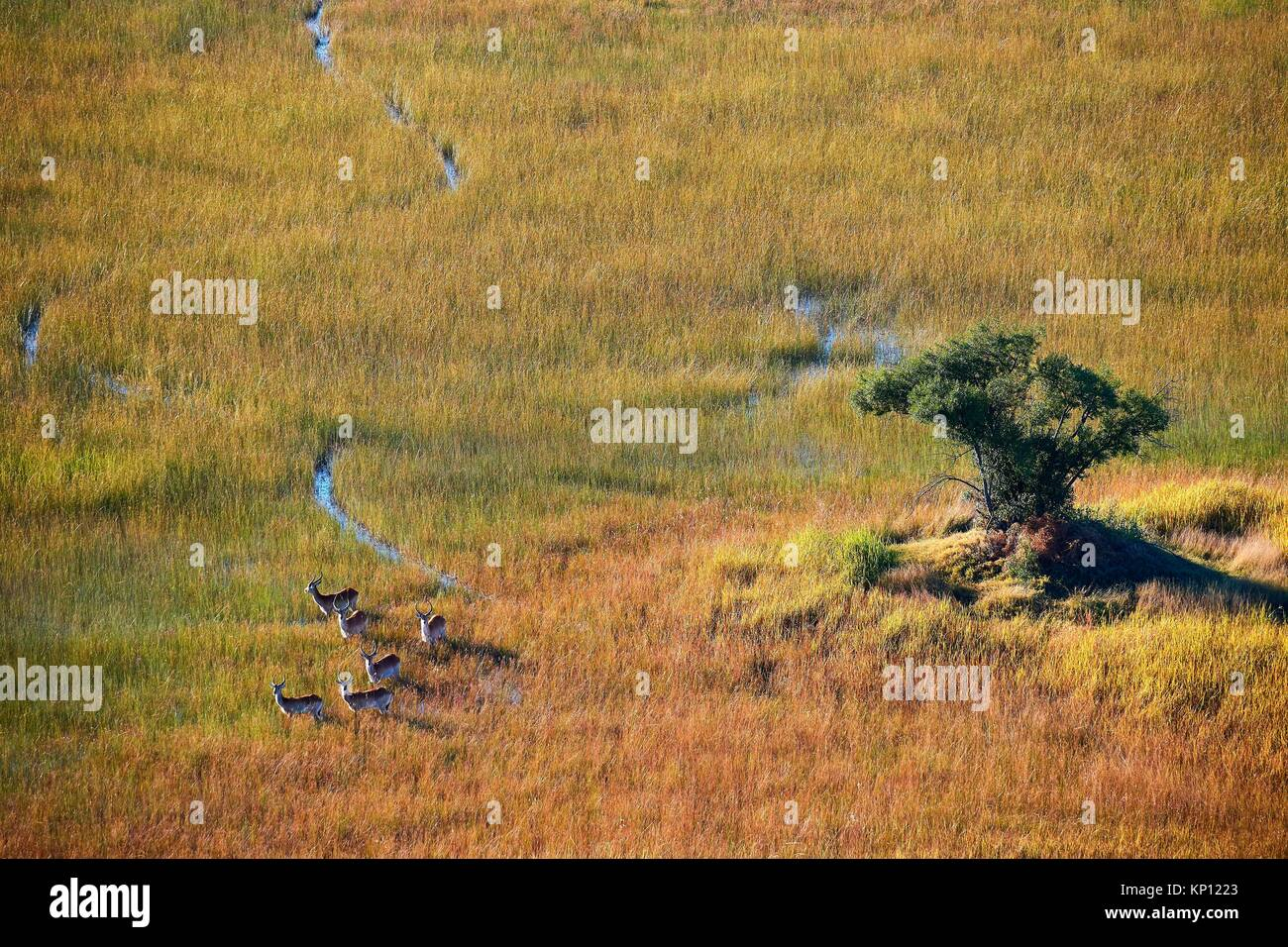 Aerial view of Lechwe (Kobus leche) crossing wetlands, Okavango Delta, Botswana, Africa. - Stock Image