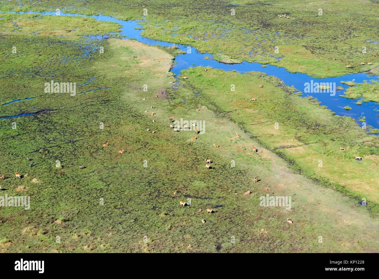 Aerial view of Lechwe (Kobus leche) in the swamp, Okavango Delta, Botswana. - Stock Image