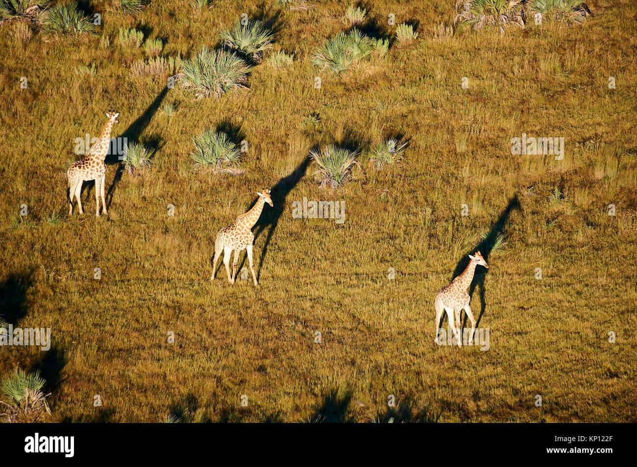 Aerial view of Giraffe group running (Giraffa camelopardalis angolensis) with shadow at sunrise, Okavango delta, - Stock Image