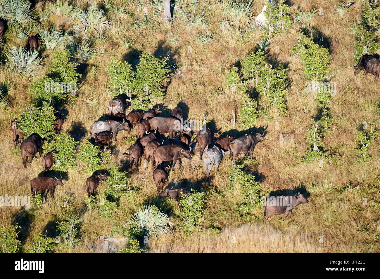 Aerial view of herd of African buffalo (Syncerus caffer) grazing, Okavango Delta, Botswana, Africa. - Stock Image